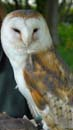 Moss the barn owl