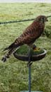 Comet the kestrel