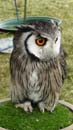 Smurf the white faced owl